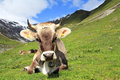 The cow a with horns in mountains Stock Photography