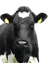 Cow isolated. Royalty Free Stock Photo