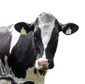 Cow isolated on a white background Royalty Free Stock Photo