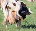 Cow with itchy udder a standing of three legs and licking her Royalty Free Stock Image