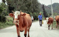 Cow leading farmer