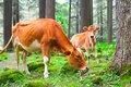 Cow and little calf at grassy meadow in forest farm animal india Stock Images