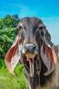 Cow with long ears Royalty Free Stock Image