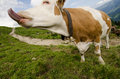 Cow with long tongue on a green meadow in teh mountains Stock Photo