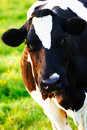 A Cow Looking at the Camera Stock Photography