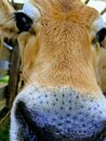 A cow is looking into the camera Royalty Free Stock Photo