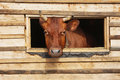 Cow  looks out from the window Royalty Free Stock Photo