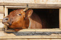Cow  looks out from the window of a shed Royalty Free Stock Photo