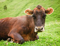 A cow lying on meadow Royalty Free Stock Photos
