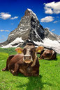 Cow lying in the Swiss Alps Royalty Free Stock Photo