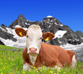 Cow on the meadow in background of ober gabelhorn swiss alps Stock Images