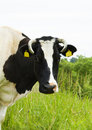 Cow in the meadow, portraite Royalty Free Stock Image