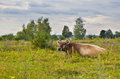 Cow in the meadow. Royalty Free Stock Photo