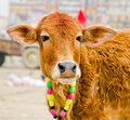 Cow meant gau daan kumbh festival Stock Images
