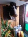 Cow milk churn s head stuffed fair Royalty Free Stock Image