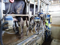 Cow milking equipment Royalty Free Stock Photo