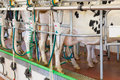 Cow milking facility in a farm modern Stock Image