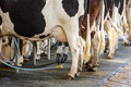 Cow milking facility and mechanized equipment Royalty Free Stock Photo