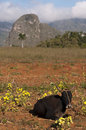 Cow with mogotes vinales cuba in background Royalty Free Stock Photo