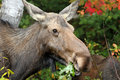 Cow Moose Royalty Free Stock Photography