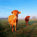 Cow in morning sunlight on green grass and blue sky under Stock Photo