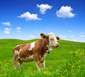 Cow in the mountain meadow Stock Photos