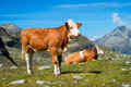 Cow on a mountain meadow grazing close to vedrette di ries aurina valley south tirol italy Royalty Free Stock Image