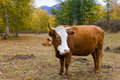 Cow on a mountain pasture Stock Photography