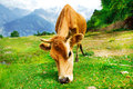 Cow in mountainous area Royalty Free Stock Photography