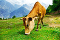 Cow in mountainous valley Royalty Free Stock Image