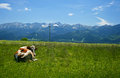 Cow and mountains meadow high view with brown lying on green field during sunny day Stock Image