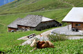 Cow near farm in the high mountains of Switzerland Royalty Free Stock Photo
