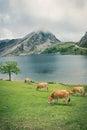 Cow near the mountain lake Royalty Free Stock Photo
