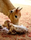 Vaca nuevo nacido ternero