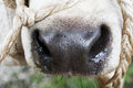 Cow nose Stock Photography