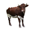 Cow over white Stock Photography