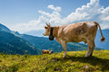 Cow overlooking Alps in Switzerland near Bachsee Royalty Free Stock Photo