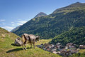 Cow overlooking the village of vent in otztal tyrol austria Royalty Free Stock Image