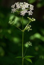Cow parsley flower anthriscus sylvestris lonely on green background Stock Images