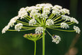 Cow parsley flower with a bumblebee anthriscus sylvestris pollenating Royalty Free Stock Image