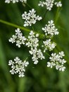 Cow Parsley or Wild Chervil, Anthriscus sylvestris, flower clusters macro, selective focus, shallow DOF Royalty Free Stock Photo
