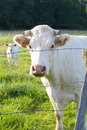 Cow in pasture Royalty Free Stock Photos