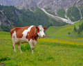 Cow on a pasture Royalty Free Stock Photos
