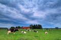 Cow on pasture during clouded morning Royalty Free Stock Photo