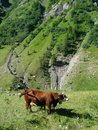 Cow on pasture in the French Alps Royalty Free Stock Photo