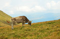Cow on the pasture mountain Stock Images