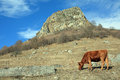 Cow on pasture a mountain russia Royalty Free Stock Images