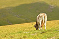 Cow pasture mountains transylvania romania Royalty Free Stock Images