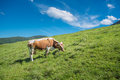 Cow on a pasture in mountains. Valley lit with sunlight in summertime. Moutain range at the background. Royalty Free Stock Photo