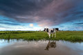 Cow on pasture by river Royalty Free Stock Photo